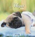 Mops 2019 Postkartenkalender -