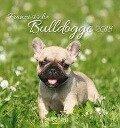 Französische Bulldogge 2018 -